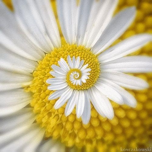 daisy, flower, flowers, pollen, Daisy GIFs