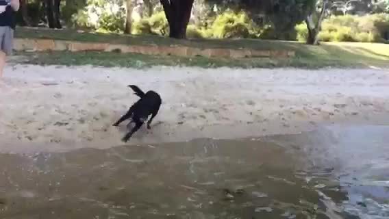 dive, dive in, diving, dog, doggy, Nero Dive GIFs