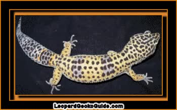 Watch and share Leopard-gecko-scroll.gif GIFs on Gfycat