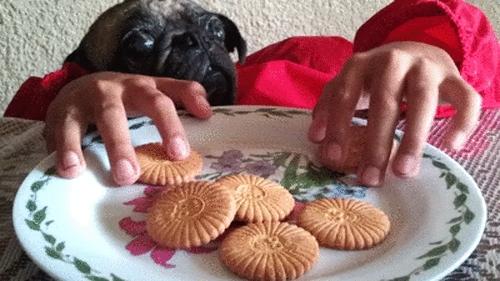 puggifs, pugs, toomanycooks, Pug come galletas GIFs