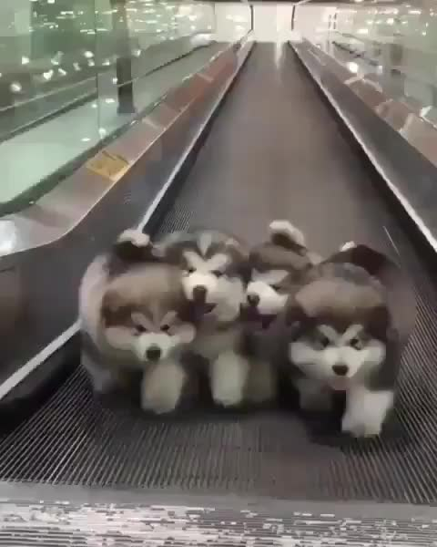 Watch doggos on an elevator GIF by PracticalProperty (@practicalproperty) on Gfycat. Discover more related GIFs on Gfycat