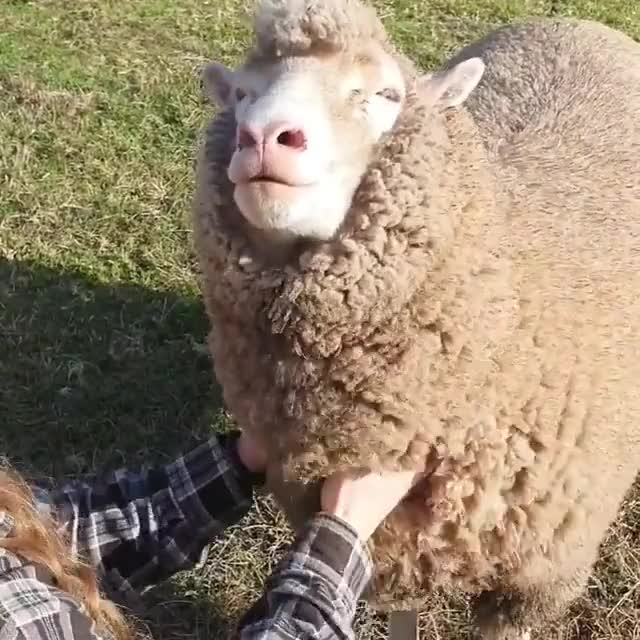 Watch and share Sheep GIFs by b12ftw on Gfycat
