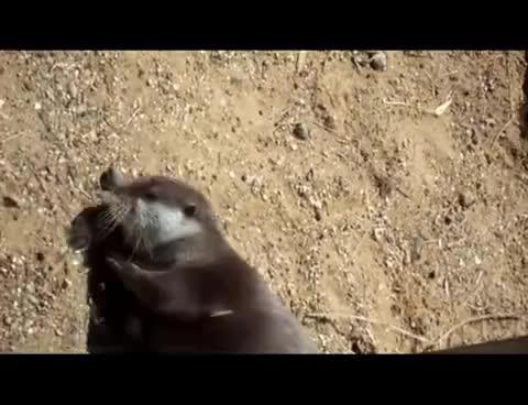 otter, 3 STONES GIFs