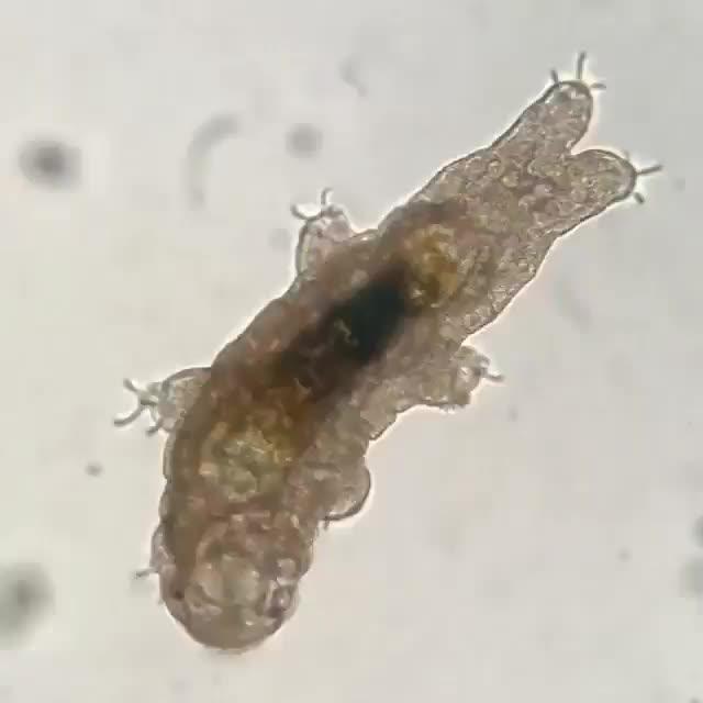 Tardigrade climbing across a glass slide magnified at 200x GIFs