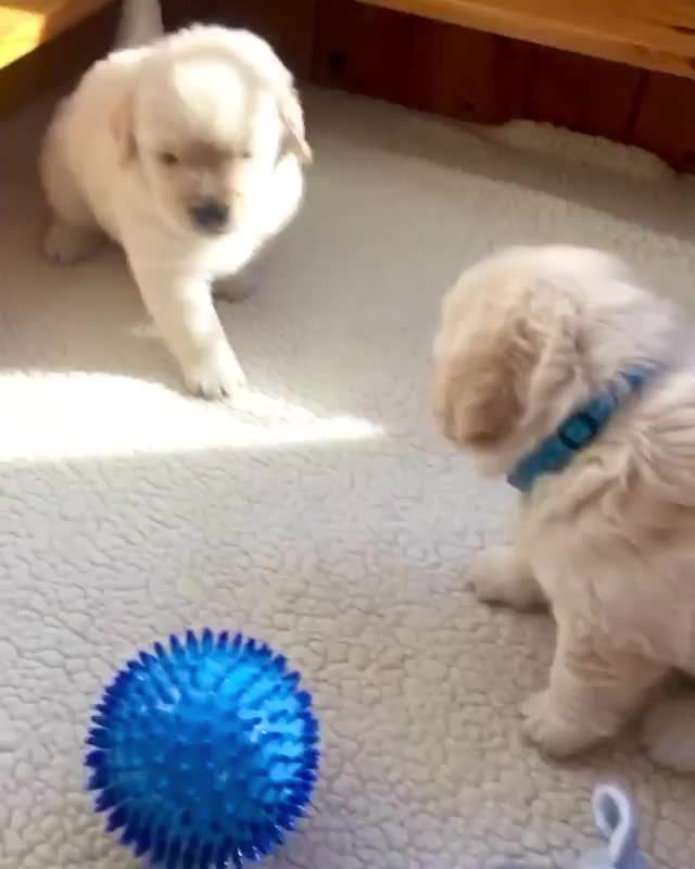 Watch and share Dailypuppy GIFs and Goldengram GIFs by PaperTronics on Gfycat