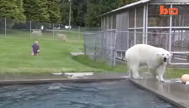 Watch and share Polar Bear GIFs and Diving GIFs on Gfycat