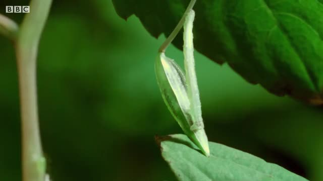 Watch and share Caterpillars Feeding On Exploding Touch-Me-Not Seed Pods GIFs by GIFs For Everything on Gfycat