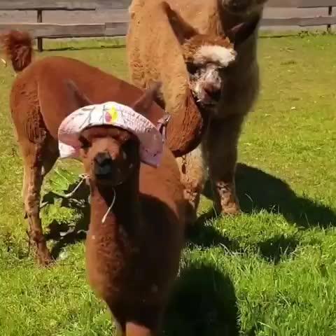 Watch Alpaca hat GIF by Boojibs (@boojibs) on Gfycat. Discover more alpaca, cute, animal GIFs on Gfycat