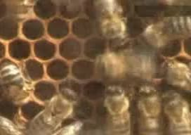 BEE, Biology, Research, SCIENCE, beekeeper, bees, biotechnology, dancing, hive, honey, language, life, nature, Bee Dance (Waggle Dance) GIFs