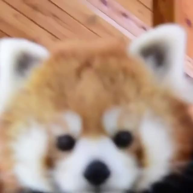 Watch and share Redpandas GIFs and Cute GIFs by nicehost on Gfycat