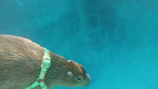 Watch and share Capybara GIFs and Swimming GIFs by Crazy Cody's Creatures  on Gfycat