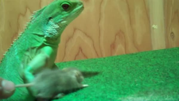 WTF, natureismetal, Chinese water dragon decapitates mouse with ease (reddit) GIFs