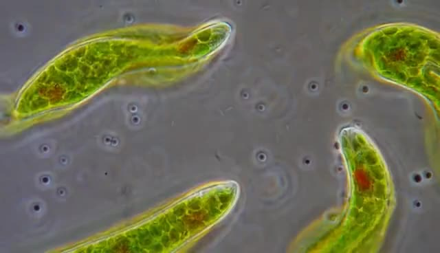 Watch and share Euglena - Flagellum Movement In Phase Contrast GIFs on Gfycat