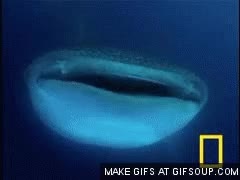 Watch Whale Shark GIF on Gfycat. Discover more related GIFs on Gfycat