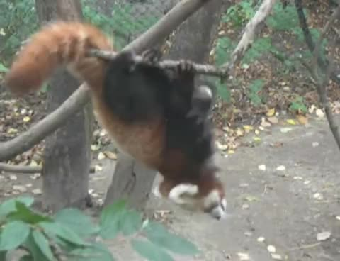 Erie Zoo, baby, cute, erie zoo, funny, red panda, Red Panda Stunt GIFs