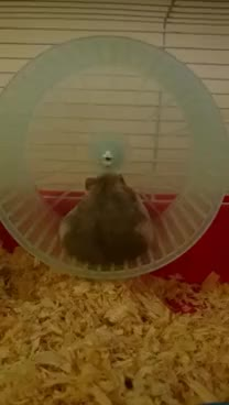 Watch and share Fat Funny Hamster GIFs on Gfycat