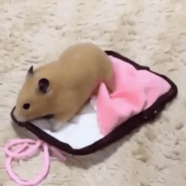 Hamster in a sleeping bag. Eyebleach has been achieved. GIFs