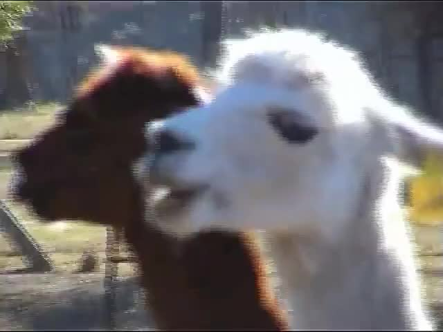 Watch and share Alpaca GIFs and Crazy GIFs by HyphenSam on Gfycat