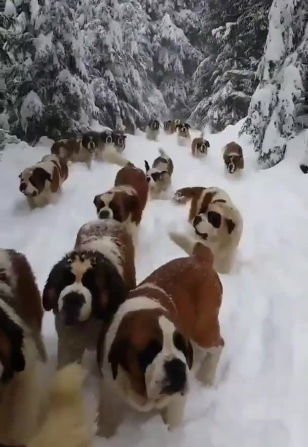 Watch and share Guy Out For A Walk In The Snow With His Saint Bernard Entourage GIFs on Gfycat