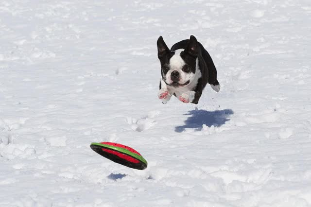 Watch howie boston terrier snow somersault GIF on Gfycat. Discover more related GIFs on Gfycat