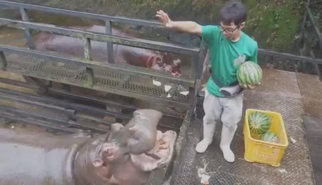 hippo, hippopotamus, Hippo Family Eating Watermelons&Baby hippo @Nagasaki Japan GIFs