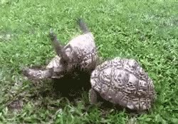 Watch and share Tortoise GIFs on Gfycat
