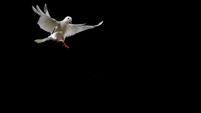Watch and share White Bird Flapping On Black Background Shooting With High Speed Camera Phantom Flex GIFs on Gfycat