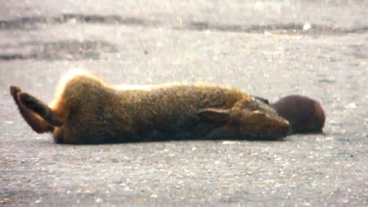 Long-tailed Weasel finishing off a Brazilian Rabbit GIFs