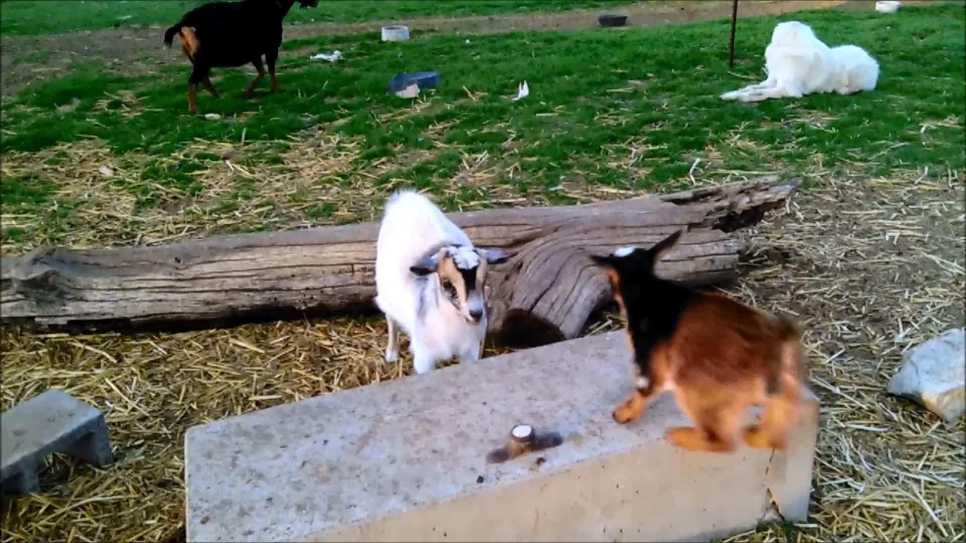 goat, goatparkour, knsfarm, parkour, Top Notch Goat Parkour GIFs