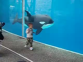 Watch this killer whale GIF on Gfycat. Discover more Killer Whale (Organism Classification), Playing, Whale (Animal), killer whale, killer whale (organism classification), mammal, ocean, orca, playing, sea, seaworld, whale, whale (animal), zoo GIFs on Gfycat
