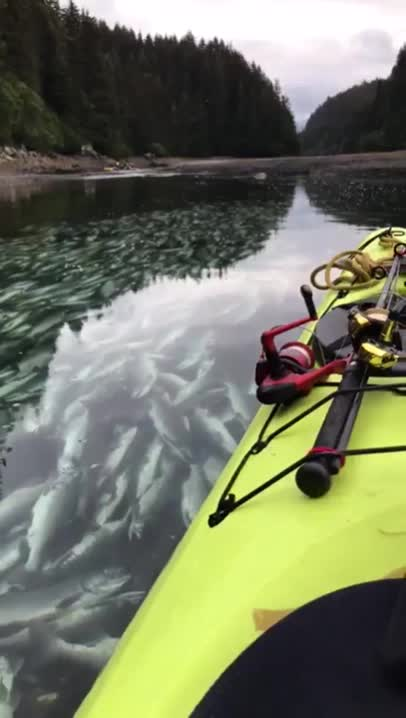 Unfortunately warm weather and warm water in Alaska killed the salmon before they reached their destination. GIFs