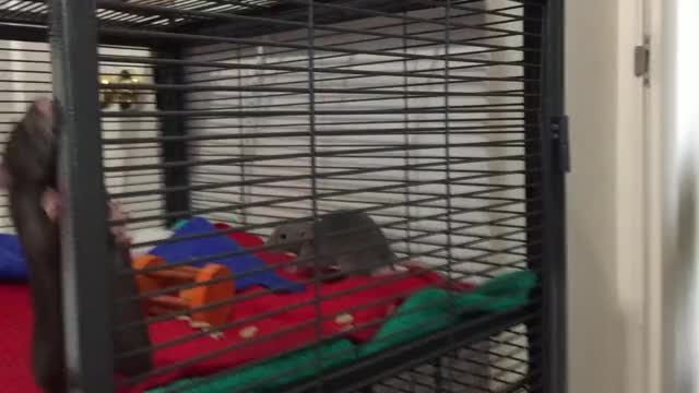 Watch and share New 10 Week Male Rats Playing In Critter Nation GIFs on Gfycat