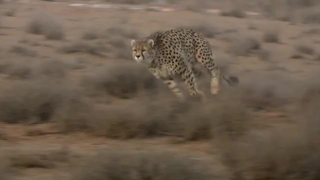 Watch and share Asiatic Cheetah Chases Down A Hare GIFs by Pardusco on Gfycat