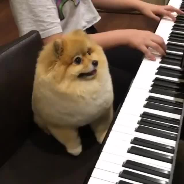 Watch and share Pupper Playes Piano And Is Vvvv Proud!! GIFs on Gfycat