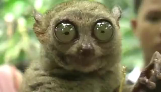 Watch Drama Gif, Grab the Popcorn GIF on Gfycat. Discover more animal, bohol, colbert, cute, monkey, philippine, stephen, tarsier GIFs on Gfycat