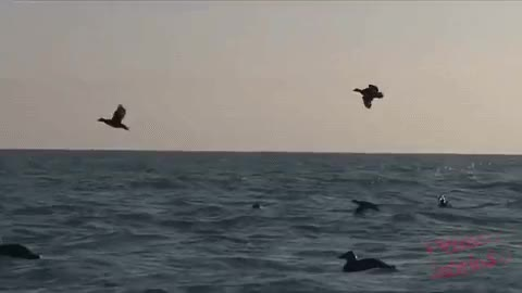 Watch and share Duck Hunting In The Sea - GIFs on Gfycat
