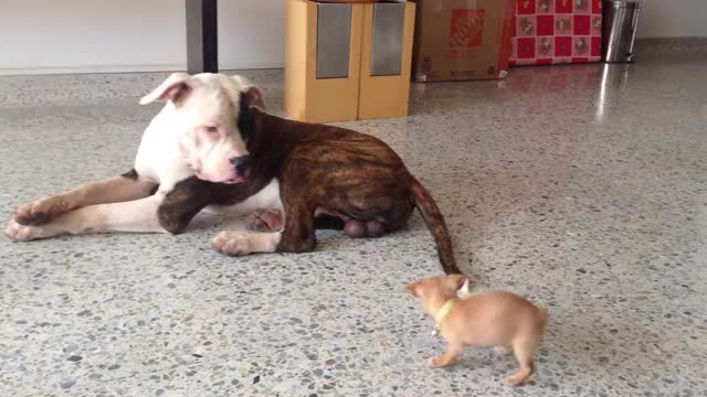 Watch and share American Bulldog Vs The Dangerous Chihuahua GIFs by likkaon on Gfycat