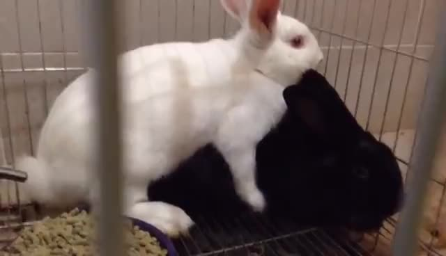 Rabbits mating GIFs