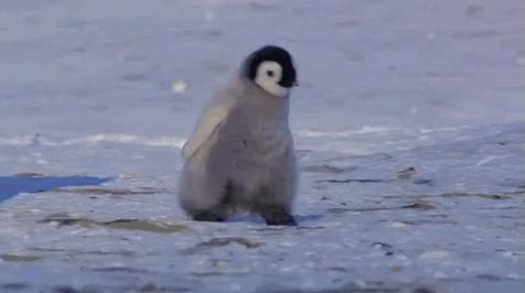 Watch and share Penguins GIFs on Gfycat
