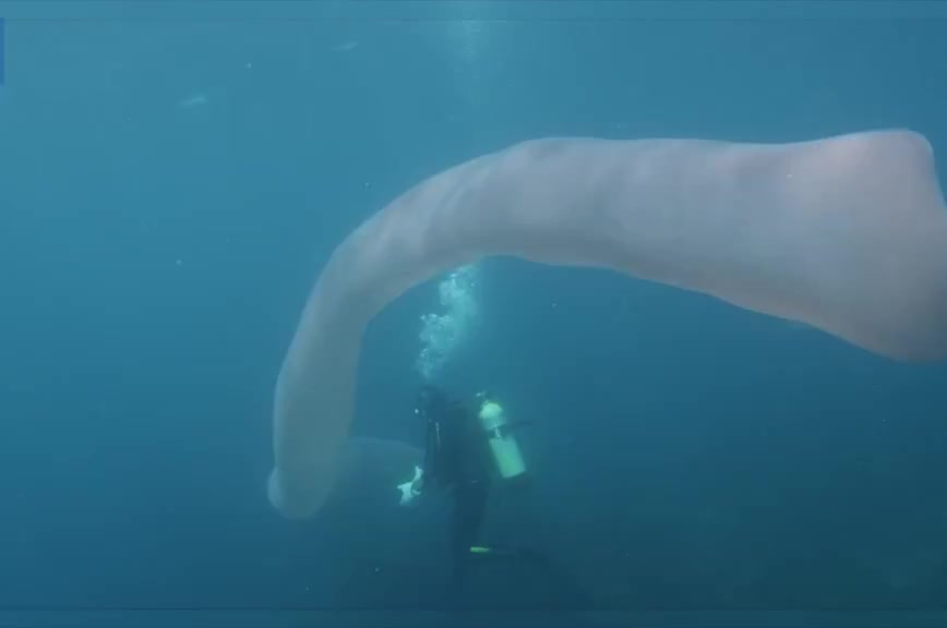 nature, Divers find 26 ft. long deep-sea worm made up of thousands of organisms GIFs