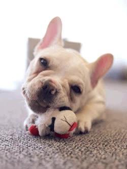 Watch and share Bulldog Down GIFs on Gfycat