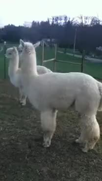 Watch pissed off alpaca GIF on Gfycat. Discover more Angry, alpaca, animal, la, pissed, sounds GIFs on Gfycat