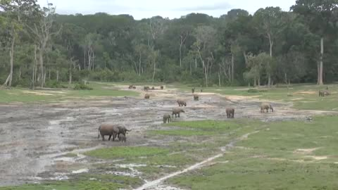 Forest Elephants, Central African Republic GIFs