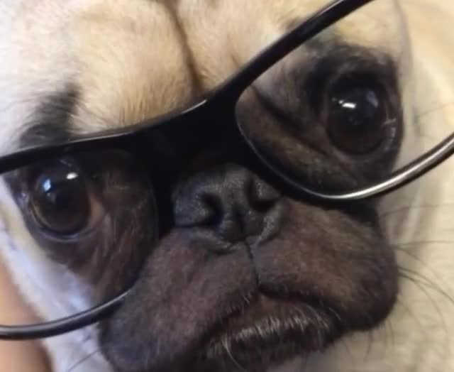 Watch this glasses GIF by GIF Queen (@ioanna) on Gfycat. Discover more GIF Brewery, cute, day, deal with it, dog, gif brewery, glasses, happy, national, pug, puppy, smart, sophisticated, sweet, worried, worry GIFs on Gfycat