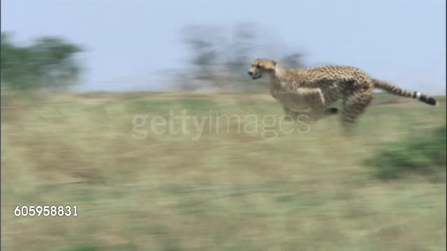Watch and share Cheetah Chasing A Gazelle GIFs by Pardusco on Gfycat
