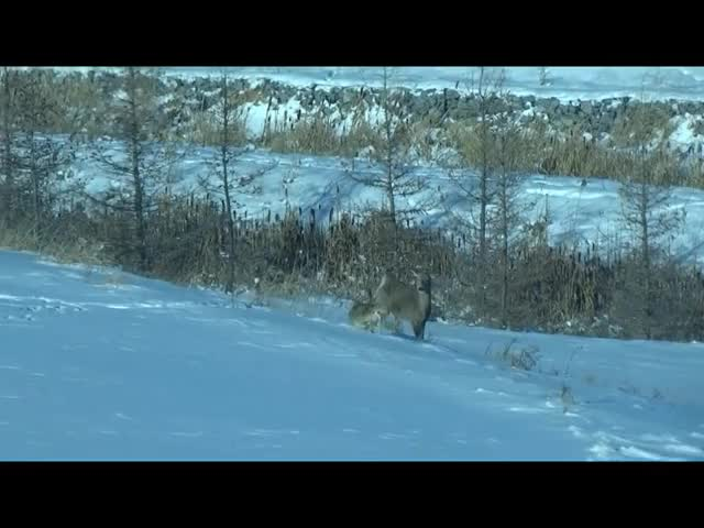 Watch and share Coyote Attacking A Deer GIFs by Pardusco on Gfycat