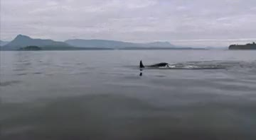 Watch this killer whale GIF on Gfycat. Discover more cetacean, cetacean gif, killer whale, killer whale gif, mammal, ocean, ocean gif, orca, sea, whale, whale gif, whales GIFs on Gfycat