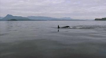 cetacean, cetacean gif, killer whale, killer whale gif, mammal, ocean, ocean gif, orca, sea, whale, whale gif, whales, Wild Killer Whales (x) GIFs