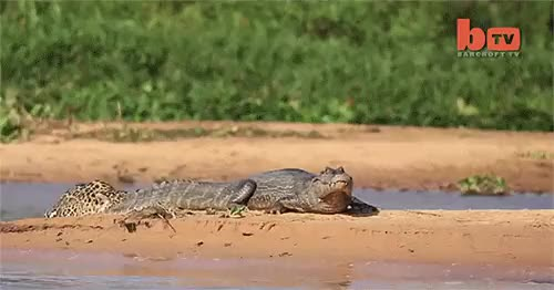 Watch this crocodile GIF by @robbaseria on Gfycat. Discover more crocodile GIFs on Gfycat