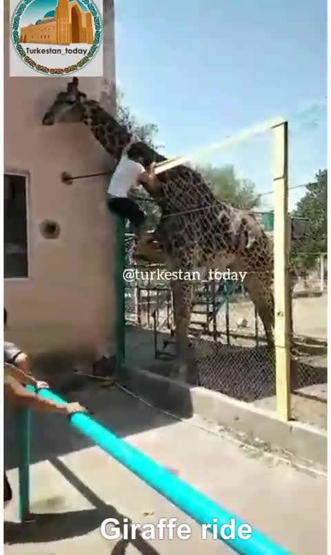 Watch and share Liveleak.com - Drunk Man Rides A Giraffe At The Zoo... GIFs by jzlucas on Gfycat